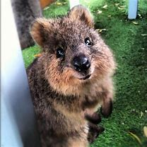 Image result for images of quokkas playing