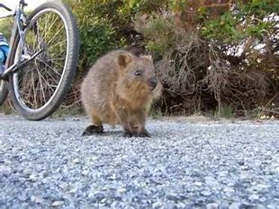 Image result for images of inquisitive quokka