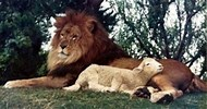 Image result for Picture Lamb and Lion Lay Together. Size: 190 x 100. Source: kingsenglish.info