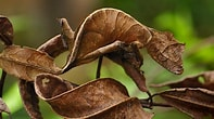 Image result for Leaf Tailed Gecko. Size: 197 x 110. Source: www.bwallpaperhd.com