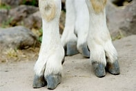Image result for Free Picture of Mountain goat feet. Size: 158 x 105. Source: flickr.com