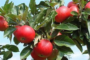 Bilderesultat for epletre