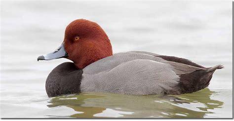 Black duck with red head-sohurepunk