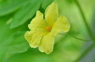 ゴーヤの花 に対する画像結果