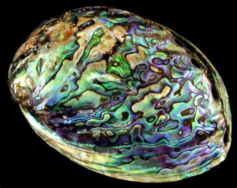 Image result for abalone tumbled