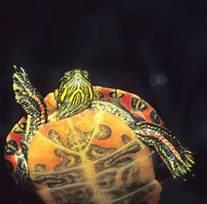 Image result for Pet aquatic Turtles