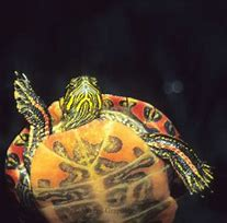 Image result for Pet aquatic Turtles