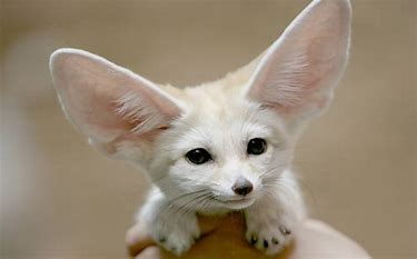 Image result for images of fox with huge ears