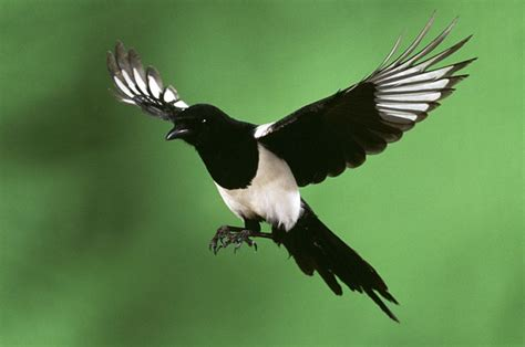 Image result for image magpie