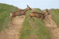 Image result for Free Picture of Deer Running