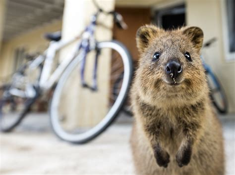 Image result for images of quokka
