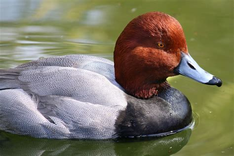 Black duck with red head-pucerfocer