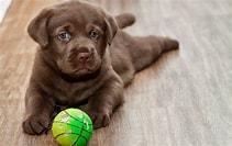 Afbeeldingsresultaten voor Puppy Foto. Grootte: 211 x 133. Bron: www.bureaublad-achtergronden.nl