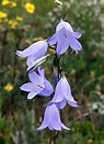 Image result for Harebell