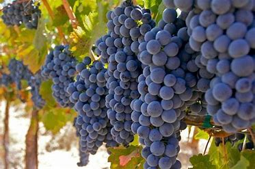 Image result for Grape harvest bible