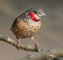 Image result for cut throat finches