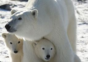 Image result for images of polar bears