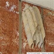Image result for mud dauber wasp nest