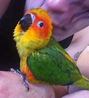 Image result for baby sun conure