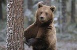 Image result for Free Picture of A Bear