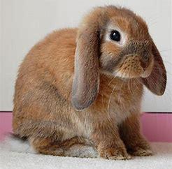 Image result for floppy ears rabbit
