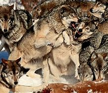 Image result for pack of wolves