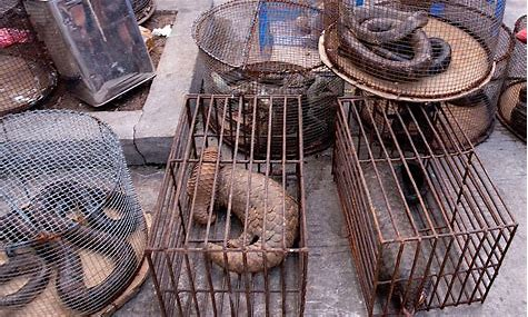 Image result for pangolin in cages