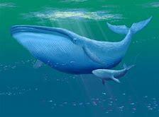 Résultat d'images pour photo de baleine bleu