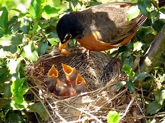 Image result for images of robins feeding babies