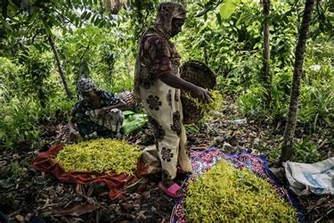 Image result for images clove groves comoros