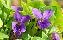 Tamaño de Resultado de imágenes de Violetas Imagenes.: 170 x 110. Fuente: www.florespedia.com