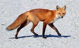 Bildresultat för red fox