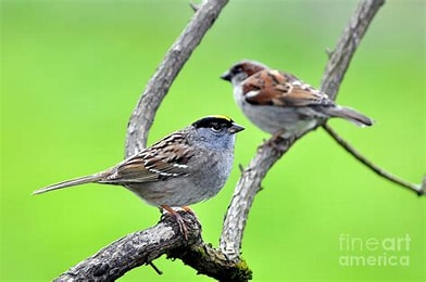 Image result for Picture Two Sparrows. Size: 157 x 104. Source: fineartamerica.com