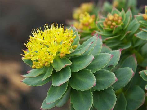 Image result for photo rhodiola rosacea
