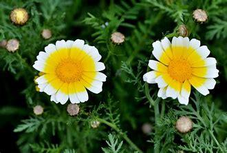 シュンギクの花 に対する画像結果