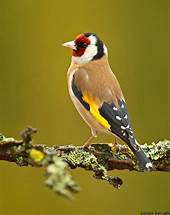 Image result for european goldfinch