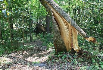 Bildresultat för farliga träd