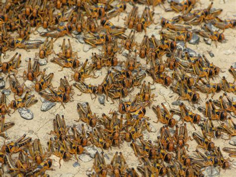 Image result for the locusts in israel bible times
