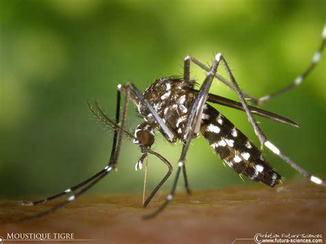 Résultat d'images pour moustique tigre