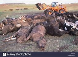 Image result for diseased livestock