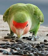 Image result for rowlet eating seeds