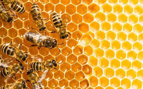 Resultado de imagen de miel panales abejas en imagenes
