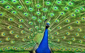 Image result for free photos of peacocks