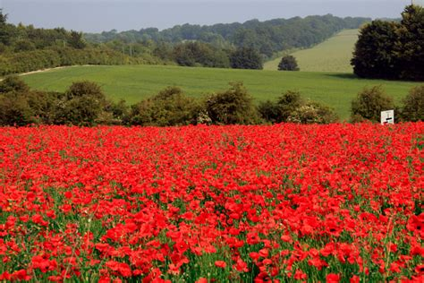 Image result for flanders fields poppies