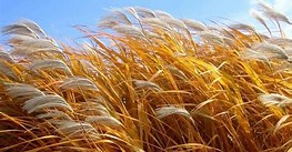 Image result for Free Picture of Wind In Wheat