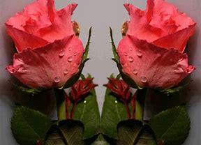 Image result for images of rosebuds
