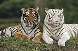 Image result for pictures of bengal tigers