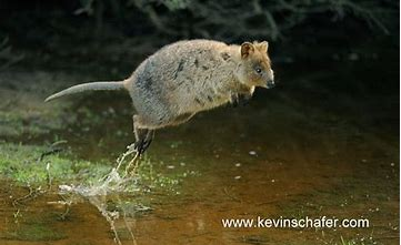 Image result for images of quokka jumping