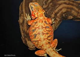 Image result for silkie bearded dragon