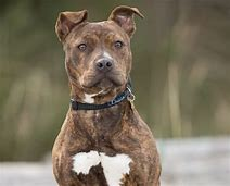 Image result for brindle pitbull